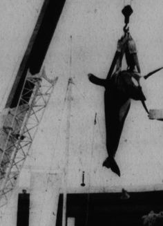 I remember this photo from the Miami Herald newspaper. It broke my heart. Some of Hugo's trainers claimed he was frustrated and never adapted to captivity. He frequently rammed his head into the side of his tank, which finally resulted in the aneurysm that killed him. When Hugo died the Miami Seaquarium left his remains in a Miami Dade landfill (1980)