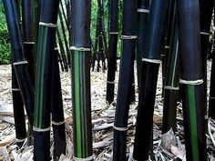 Black Bamboo (20 Seeds)