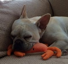 """Take a nap if you are crabby"", French Bulldog"