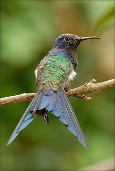 Eupetomena macroura - śmigacz - Swallow-tailed Hummingbird