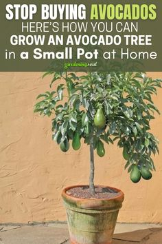 We reveal the way in which you can grow them at home, and save money, while having a steady supply of organic avocados. #avocado #avocadotree Regrow Vegetables, Container Gardening Vegetables, Container Plants, Growing Vegetables, Veggies, Growing An Avocado Tree, Growing Fruit Trees, Growing Plants, Avocado Plant