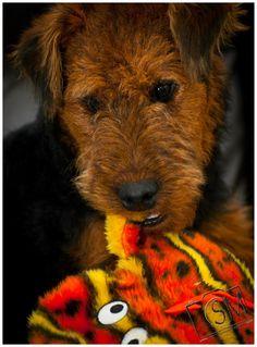 Welsh Terrier Dog Welsh Terrier, Wire Fox Terrier, Airedale Terrier, Terrier Dogs, Terriers, Lakeland Terrier, Felt Animals, Scottie, Puppies