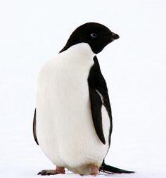 An Adelie Penguin!