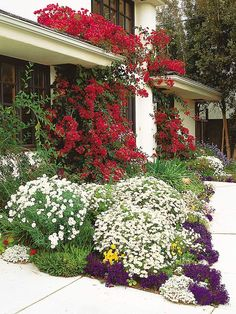 Try a Dramatic Color Combo  Here's another example of using color effectively. Bright red bougainvilleas clothe the front porch, while white marguerite daisies and blue lobelia playfully cloak the front walk. Yellow pansies add a bit of extra sparkle.