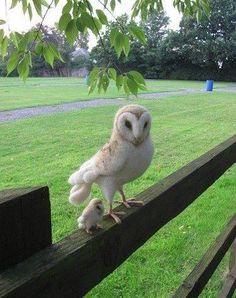 Baby and mama barn owls