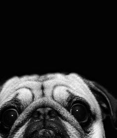 squishfacedogs - A collection of dogs with squished faces. What's ...