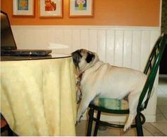 When this overworked pug fell asleep at the dinner table in front of his entire family.