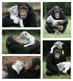 tiger and a chimp :)