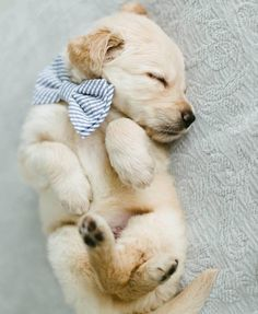 sleepy golden retriever puppy