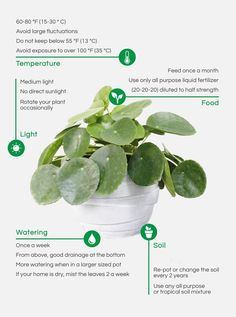 care How To Care For Your Pilea -garden care How To Care For Your Pilea - How to root and propagate Pilea Peperomioides baby plants. Grow your own Pilea plant family. Garden Care, Outdoor Plants, Outdoor Gardens, Plants Indoor, Indoor Herbs, Indoor Garden, Garden Plants, Planting Succulents, Planting Flowers
