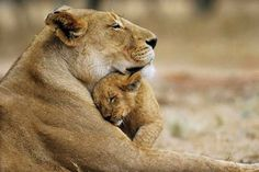 mom & baby lion