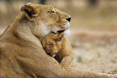 mamãe leoa e seu filhote