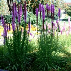 Tall purple flowers - Liatris sp. - Blazing star