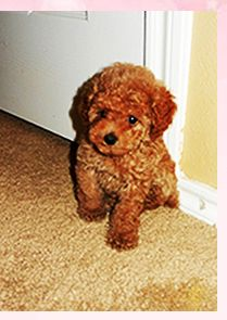 25 Best Maltipoo Puppies For Sale Images Maltipoo Puppies For Sale