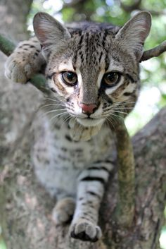 Geoffroy's cat is a wild cat native to the southern and central regions of South America. It is about the size of a domestic cat