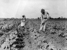 Tenant farmers in Eutaw, Greene County, Alabama, hoe their cotton fields in July The image was taken by famed photographer Dorothea Lange for the federal Farm Security Administration. Courtesy of the Library of Congress.