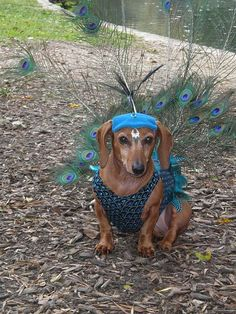 Rarely seen in the wild… the Peacock Dachshund. I know mine are tired of dressing up as the proverbial hot dog every year! I Love Dogs, Cute Dogs, Dachshund Costume, Funny Animals, Cute Animals, Dachshund Love, Daschund, Dachshund Puppies, Weenie Dogs