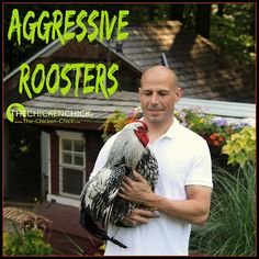 About Aggressive Roosters