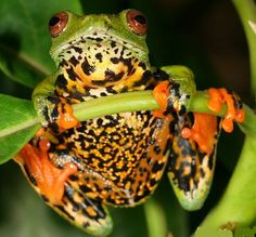 Sao Tome giant treefrog (Hyperolius thomensis)is an endangered species of frog that is endemic to São Tomé Island in São Tomé and Príncipe.
