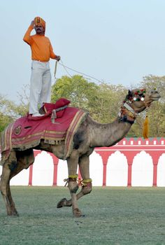 Rajasthan Diwas 2016 - An amazing show performed by the world's only camel contingent.