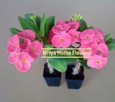 Euphorbia New Pink Velvet Home Flowers, Pink Velvet, Planter Pots