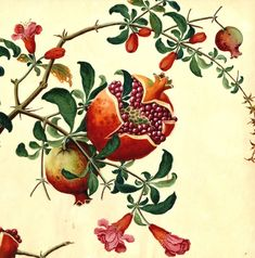 Name: Punica granata Notes: Watermarked J WHATMAN 1805 Harvard University Herbaria - Botany Libraries Archives Arnold Arboretum Chines Watercolors China Trade Pomegranate Tattoo, Pomegranate Art, Watercolor Illustration, Graphic Illustration, Watercolor Art, Botanical Drawings, Botanical Prints, Grenade, Illustrations