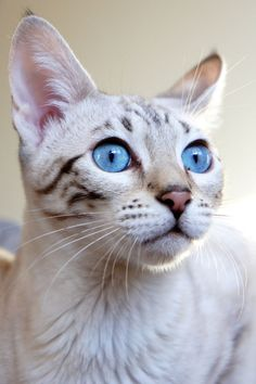 Cute Kitten, Love Cats. Blue Eyes. www.livewildbefree.com Cruelty Free Lifestyle & Beauty Blog. Twitter & Instagram @livewild_befree