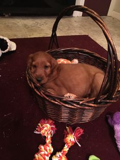 Miss Ellie. Irish setter 8 weeks old