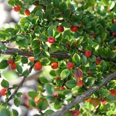 Cotoneaster horizontalis hedging plants | Wall Cotoneaster