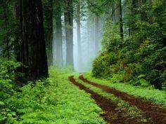 Carretera sin pavimentar en el bosque de Redwoods Lámina fotográfica