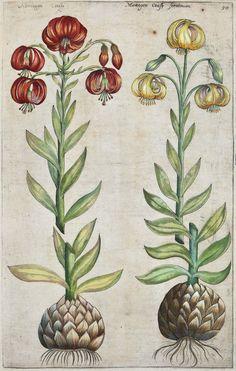 Emanuel Sweert - Martagon consip seratinium - 1612. From Florilegium Amplissimum et Selectissimum, Frankfurt-am-Main, 1612.