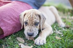 great dane puppu