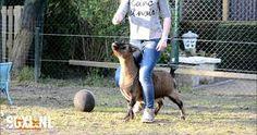 Afbeeldingsresultaat voor geiten trainen