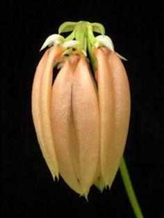 Bacino del #Mekong: scoperte 367 nuove specie - Corriere.it Una specie nuova di orchidea di colore salmone: «Bulbophyllum salmoneum» (Ansa/Wwf) #Orchid