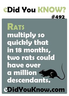 eDid You Know? Rats multiply so quickly that in 18 months, two rats could have over a million descendants. Bloody HATE the things.
