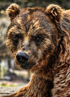 Alaska Brown Bear Grizzly.