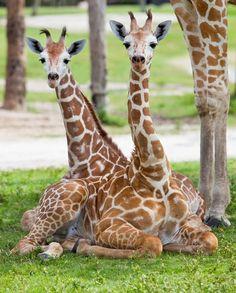 Google Image Result for http://www.animalfactguide.com/blog/wp-content/uploads/2010/07/babygiraffes-558x694.jpg
