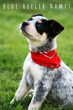 Blue Heeler Names - 200 Brilliant Ideas For Australian Cattle Dog Puppies Love My Dog, Baby Dogs, Dogs And Puppies, Doggies, Australian Cattle Dog Puppy, Australian Farm, Baby Animals, Cute Animals, Wild Animals