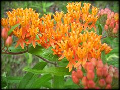 wisconsin wildflowers :: butterflyweed absolutely need this.spread seeds from pod at home. Love this plant