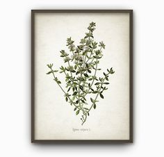 Thyme Print - Thyme Kitchen Herb Art Print - Antique Thyme Botanical Home Decor - Herbs and Spices Wall Art (B88)
