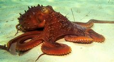 Despite lacking a rigid skeleton, octopuses have a remarkable coordinated locomotion. Using high-speed cameras, a group at the Hebrew University of Jerusalem found the octopus achieves this by precisely and independently moving one or more of its eight legs to crawl its body, even when its facing a different direction. Moreover, there is no discernible rhythm or pattern to this undulating leg movement, making the octopus unique in this respect. It's controlled chaos, and only the octopus ...
