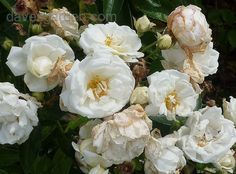 Full size picture of Polyantha Rose 'Yvonne Rabier' (<i>Rosa</i>)