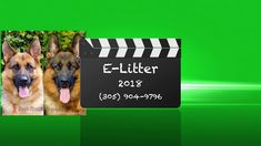German Shepherd puppies for sale from Florida's best German Shepherd Breeder:...