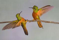 hummingbird-photography2