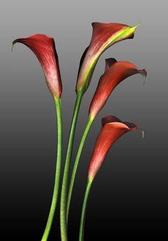 ~~ Red Calla Lily ~~