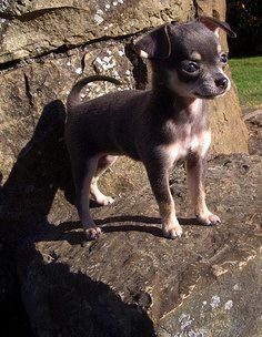 chihuahua with such a nice expression Chihuahua Puppies, Cute Puppies, Cute Dogs, Chihuahuas, Puppies And Kitties, Doggies, Cute Animal Pictures, Baby Dogs, Little Dogs