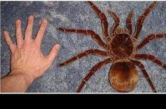 Sabías que... La araña más grande del mundo es venezolana Venezuela ingresó en…