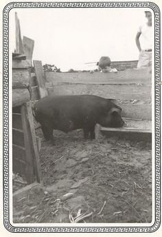 We lived in Mississippi and I was seven.  This was a hog my dad raised.  Even with it's size, this animal was getting out of the sty at night.  We found out it would go to the corner and using the two sides would shimmy up and over the top.