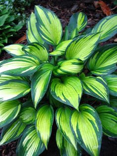 'guacamole' hosta, fastest growing and easiest to grow in sun and shade...