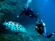 Scuba Diving best spots is Mafia island beaches. Mafia island is recommended ecotourism hotspot for coral reef diving in Africa. Beach resorts in Mafia are best beach holidays destination and price cost is cheap. http://www.kili-tanzanitesafaris.com/mafiaisland.htm